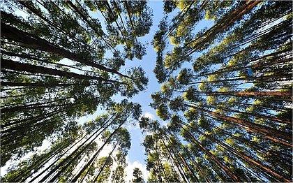 Mais de 80% das florestas plantadas na Bahia são de eucalipto