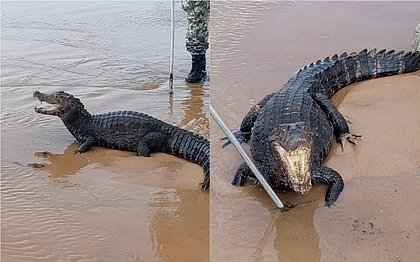 Jacaré de 30 kg é encontrado na praia de Jaguaribe; veja vídeo