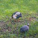 O casal de galinhas-d'Angola Pacheco e Dolores
