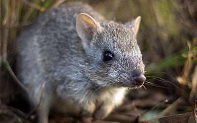 Bettongia norte (bettongia tropica) em uma casa de cuidados de animais selvagens em Ravenshoe, Queensland. Este marsupial australiano comedors de trufa, conhecido como rato canguru estápróximo da extinção.