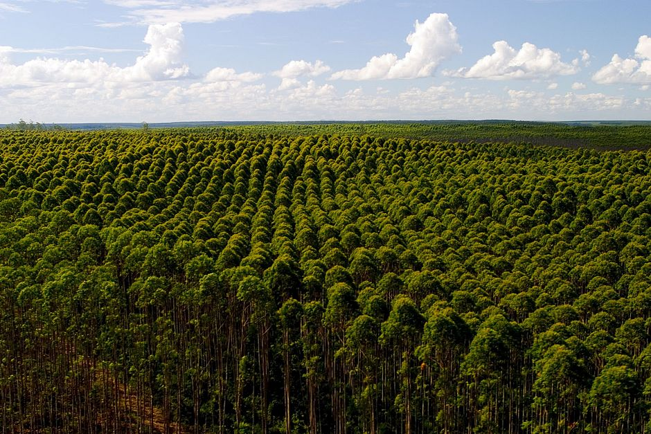 Resultado de imagem para floresta plantada