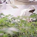 Anvisa aprova venda de produtos à base de Cannabis em farmácias (Foto: Divulgação)