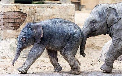 Bebê elefante brinca com seu meio-irmão Raj no zoológico Hagenbecks Tierpark em Hamburgo, norte da Alemanha.