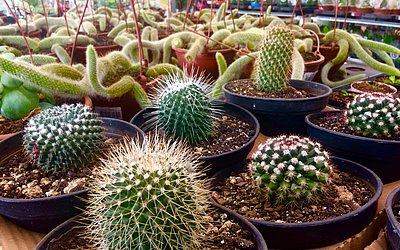 Comércio em alta: existem centenas de espécies de cactus disponíveis no mercado.