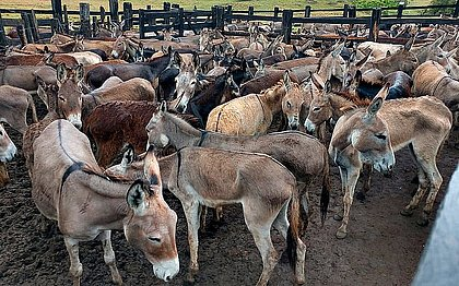Justiça cassa liminar que proibia abate de jumentos na Bahia