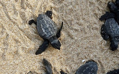 Tamar comemora 40 anos com 40 milhões de tartarugas liberadas no mar