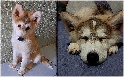 Porto Seguro: Dona de Husky Siberiano furtado precisou pagar para ter cachorro de volta