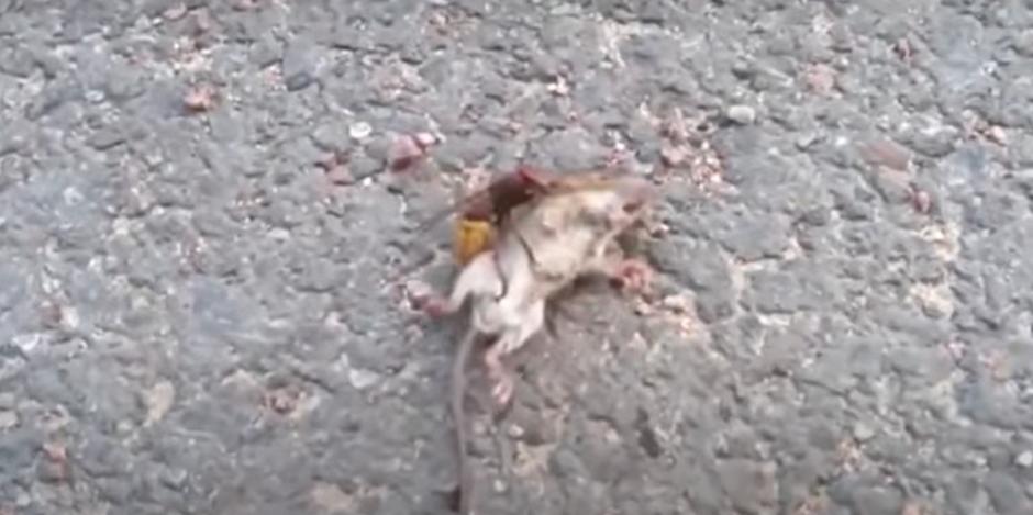Vídeo mostra vespa assassina matando rato em menos de um minuto; assista 1