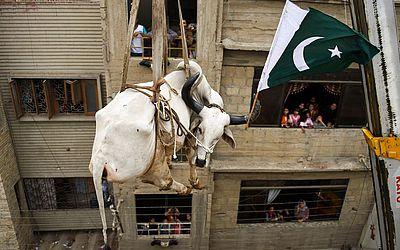 Nas vésperas do Festival Eid al-Adha também conhecido como festival do sacrifício os moradores locais começam a retirar o gado dos telhados onde costumam deixa-los por três  ou quarto anos em engorda.