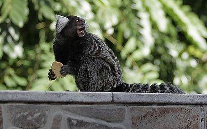 Sobe para 55 número de macacos mortos em Salvador; veja bairros