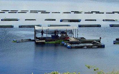 Produção de tilápia na Bahia cresce 150% em 10 anos