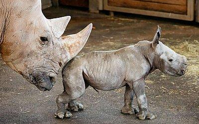 A rinoceronte Marcita cutuca seu bebê no cercado do zoológico de Erfurt, na Alemanha Oriental.