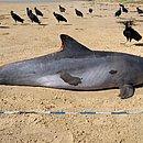 Golfinho é encontrado morto em praia no município de Feliz Deserto, no litoral sul de Alagoas