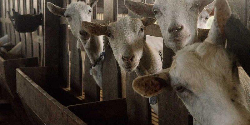 Carne de bode e leite de cabra estão cada vez mais chiques