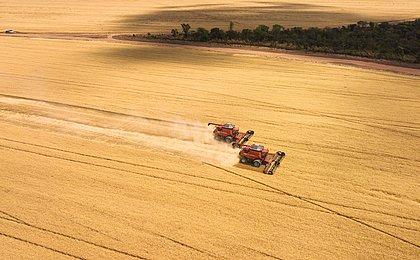 Trigo é a nova aposta do Oeste da Bahia; produção pode quadruplicar