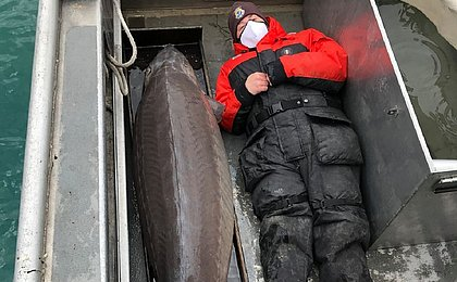 Peixe 'monstro' de 100 kg e mais de 100 anos é pescado nos EUA