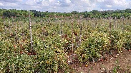 Plantações irrigadas de tomate também estão ameaçadas. Há 40 dias rio secou no trecho perto do Assentamento São Sebastião.