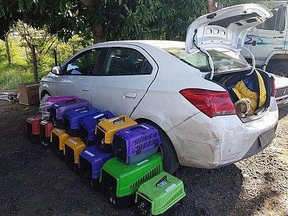Com sinais de maus-tratos, 66 filhotes de shih tzu são apreendidos na Bahia