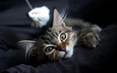 Gato num café em Bogotá, Colômbia. O dia internacional do gato, foi criado em 2002 e é  comemorado em 8 de agosto de cada ano.