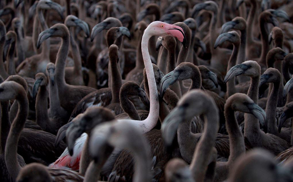 Flamingos no lago de Fuente de Piedra, a 70 km de Málaga, durante uma operação de codificação e controle da espécie.