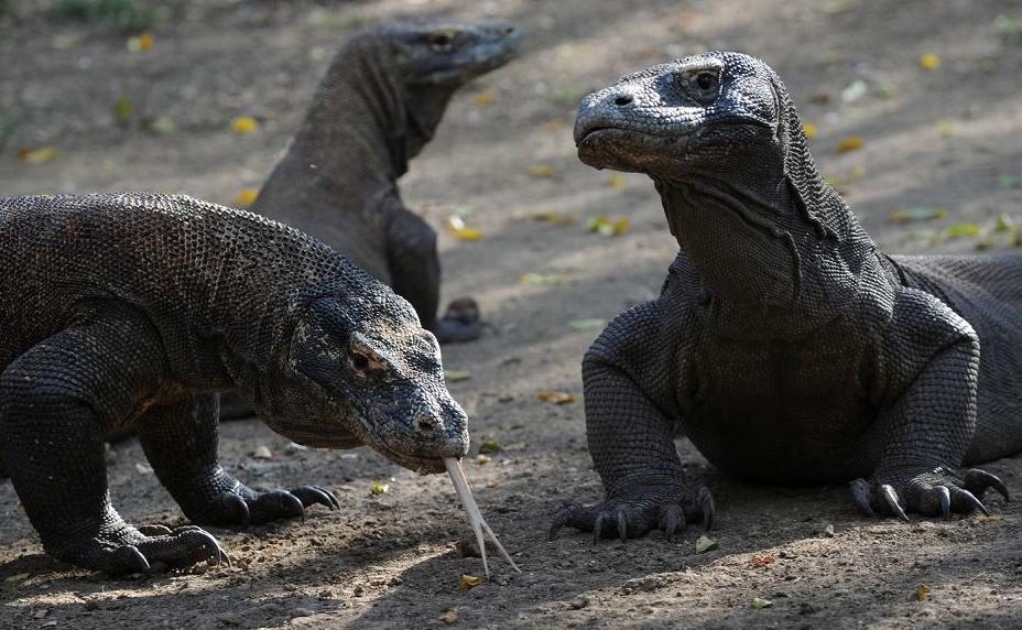 Dragões de Komodo busca na ilha de Rinca, área protegida do Parque Nacional de Komodo. O governo da província de East Nusa Tenggara na Indonésia, propôs que os visitantes paguem  500 dólares para ver as espécies ameaçadas de extinção.