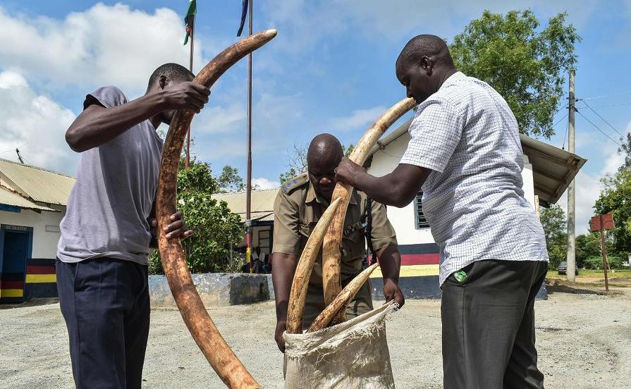 Oficiais de polícia mostram 11 peças de marfim apreendidas  pesando 55 kg e estimadas em 5,5 milhões do Quênia Shilling (cerca de 47,300 euro) em Mariakani, sudeste do Quênia.