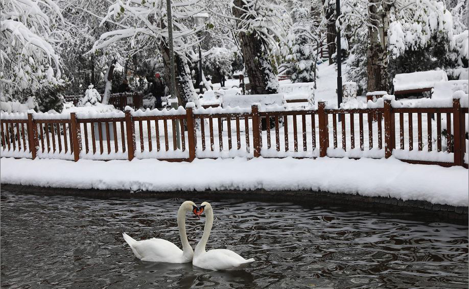 Cisnes na lagoa gelada do jardim público de Kugulu Park em Ancara.