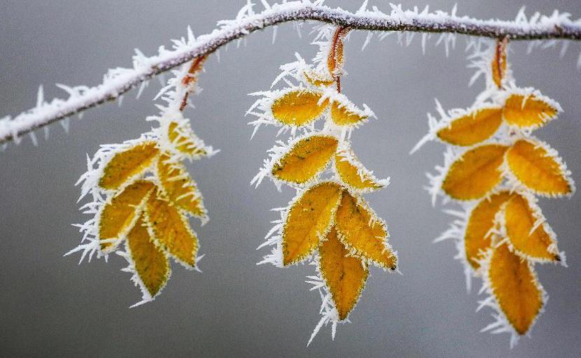 Folhas cobertas de gelo em Uttenweiler-Aderzhofen, perto de Biberach, sul da Alemanha.