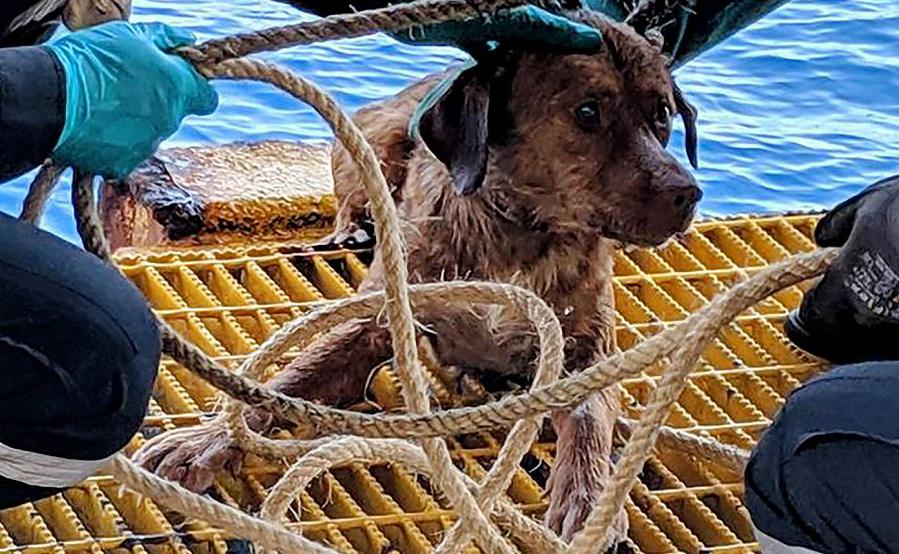 O cão Boonrod foi resgatado por trabalhadores em uma plataforma de petróleo ao largo da costa do Golfo da Tailândia. Ele foi encontrado exausto após remar 220 km (135 milhas).