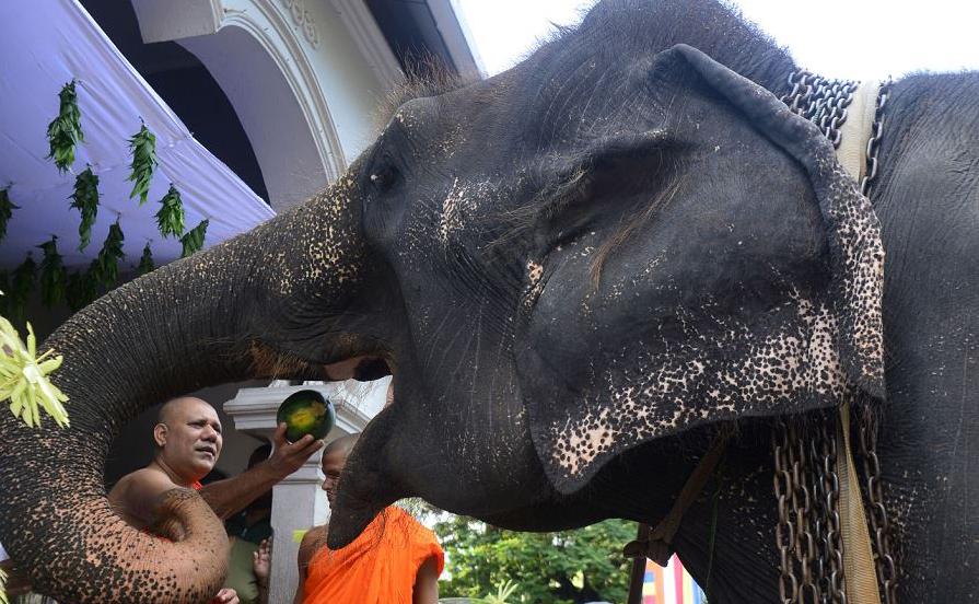 Um monge budista do Sri Lankan alimenta um elefante durante os rituais tradicionais de ano novo em um templo no subúrbio de Colombo, em Bellanvila.